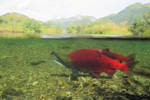 Alaska's salmon are getting smaller
