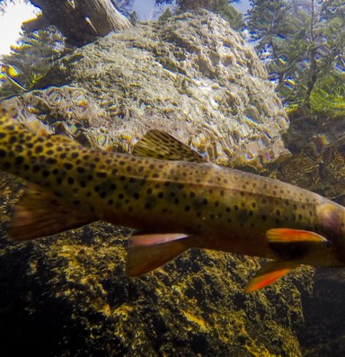 The greenback cutthroat trout needs saving, again