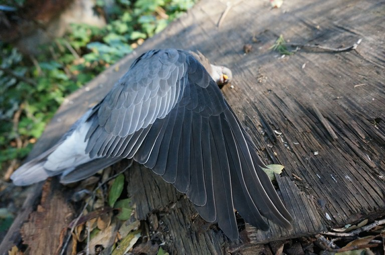 copy2_of_bandtailedpigeon01a1.jpg