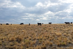 The new Malheur occupants: Grazing cattle