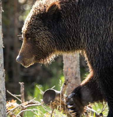 States propose scaling back safeguards for grizzlies
