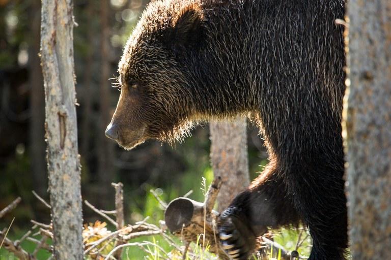 Letter Bear Species
