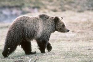 Grizzlies gain ground