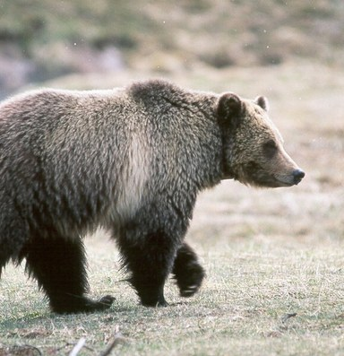 Grizzlies gain ground