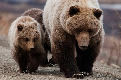 Interactive timeline: Fish & Wildlife Service proposes to delist Yellowstone grizzly
