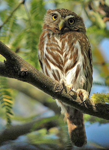 The cactus ferruginous pygmy-owl: Worth protecting, or no?
