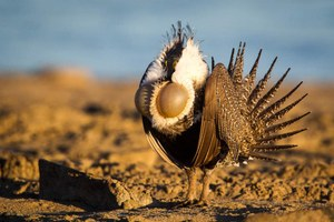 KDNK Radio and HCN editor Jodi Peterson talk sage grouse