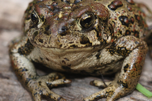 How purple bacteria could help save amphibians in the Rockies