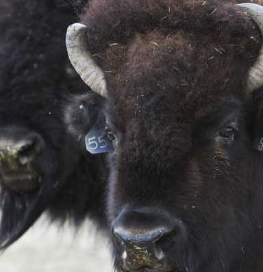 How the buffalo survived to become our new national mammal