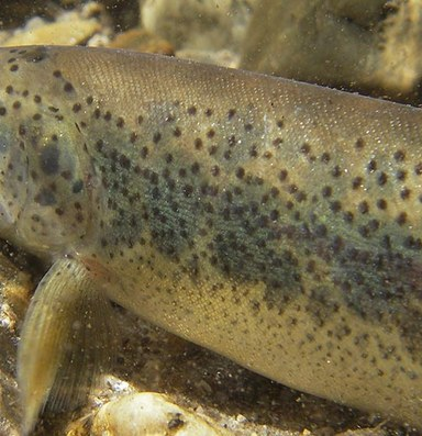 Idaho's Panther Creek comes back from the dead