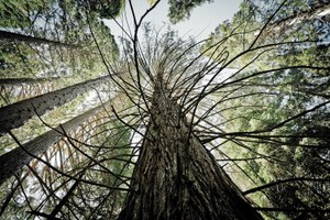 Identifying 'killer trees' in Sequoia National Park