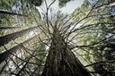 Identifying 'killer trees' in Sequoia National Park