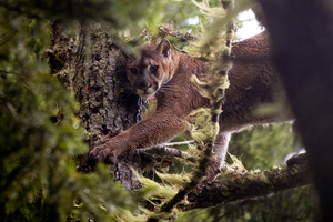 Alliance transcends boundaries to conserve cougars