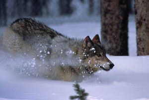 Killing wolves to protect cattle may backfire