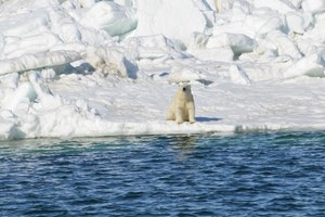 Land-based foods won't float polar bears through ice declines