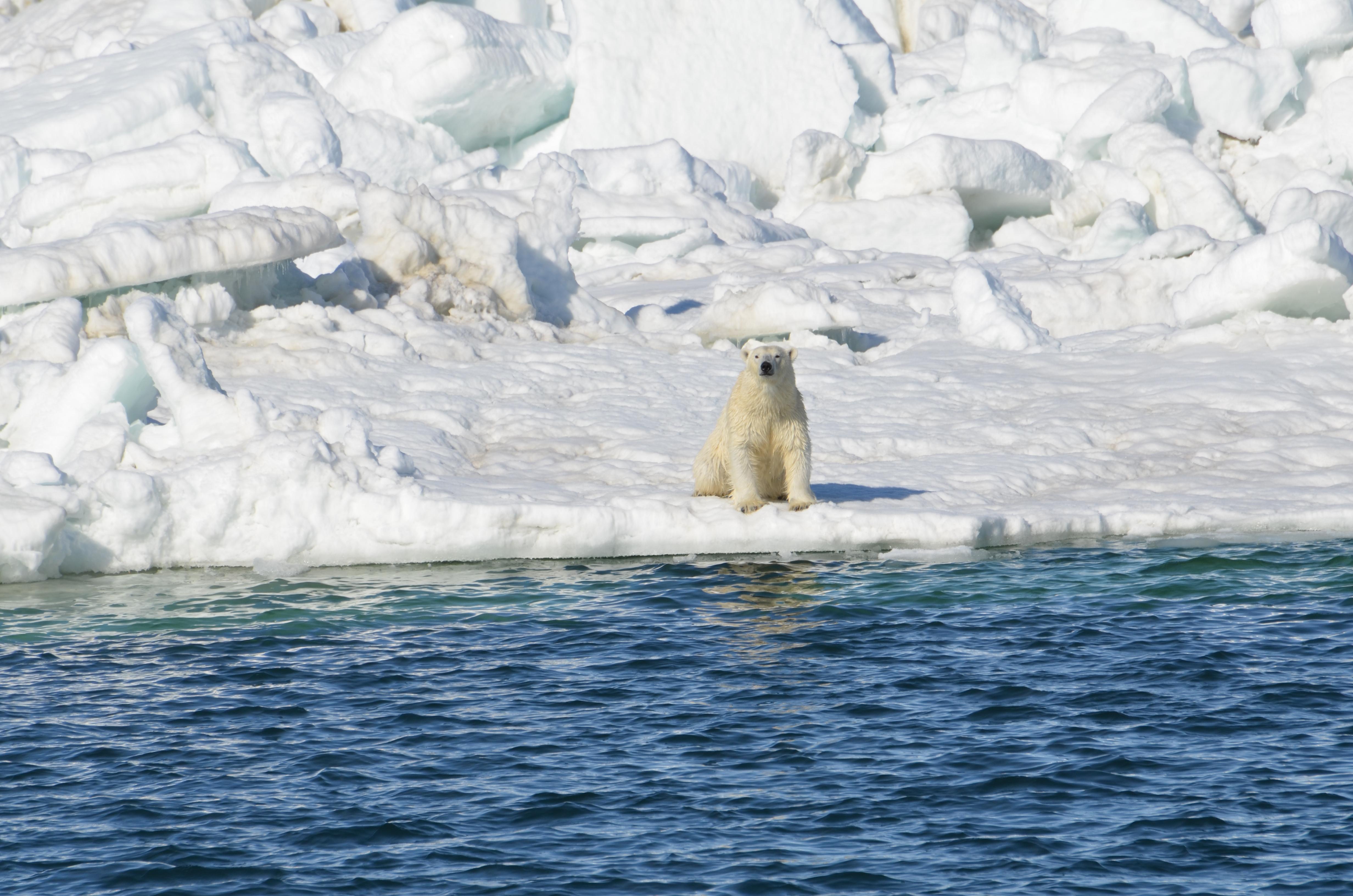 chukchi bear