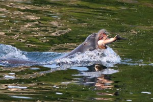 Update: New law makes it easier to kill salmon-eating sea lions