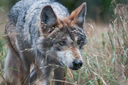 Record number of endangered wolves found dead