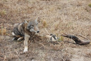 Looking back on a century of poisoning predators