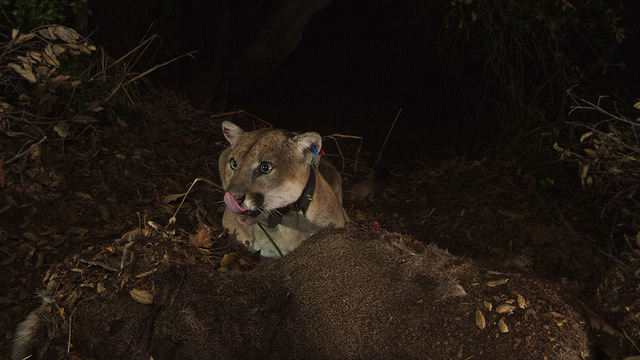 Mountain Lion P-22 caught on remote camera in Los Angeles. Photo courtesy of National Park Service