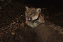 Famous Los Angeles puma holes up in residents' crawlspace