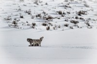 Death of Utah wolf is collateral damage