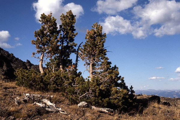 Montana mycologist fights fungus with fungus