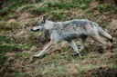 Park Service ended a wolf study in Alaska, since so many have been killed