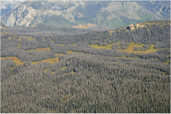 effects pine beetles have on the forests A study finds strong links between climate change and the spread of southern pine beetles,  effects on localized forests,  pine beetle have also hit forests.