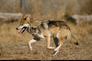 Mexican wolf restoration hits (another) snag