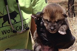 New Mexico's baby wolf swap worked. Why won't state officials get on board?