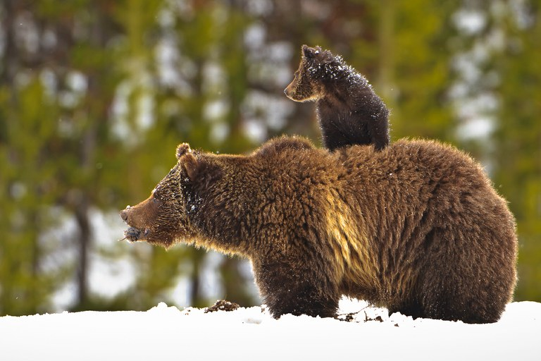 A sow grizzly bear enjoys a vole she caught while her cub sits safely on her back just after an intense May snow storm broke near Fishing Bridge in Yellowstone National Park.