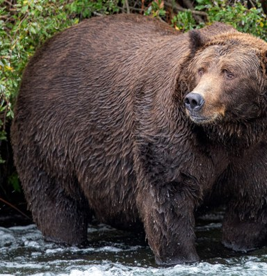Just how fat are the fat bears?