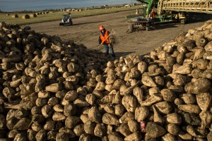 COVID-19 makes it harder to know when to harvest sugar beets