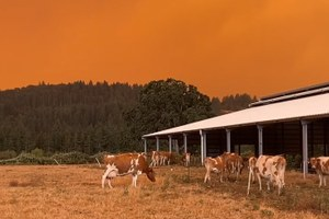 For dairy cows, where there's smoke, there's less milk