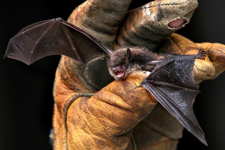 North American bats may be susceptible to SARS-CoV-2