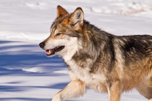 Close the wolf-killer loophole