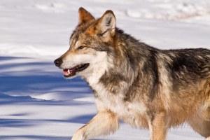 Close the wolf-killer loophole