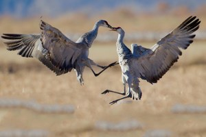 On becoming reacquainted with sandhill cranes