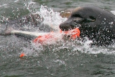 For sea lions, a feast of salmon on the Columbia