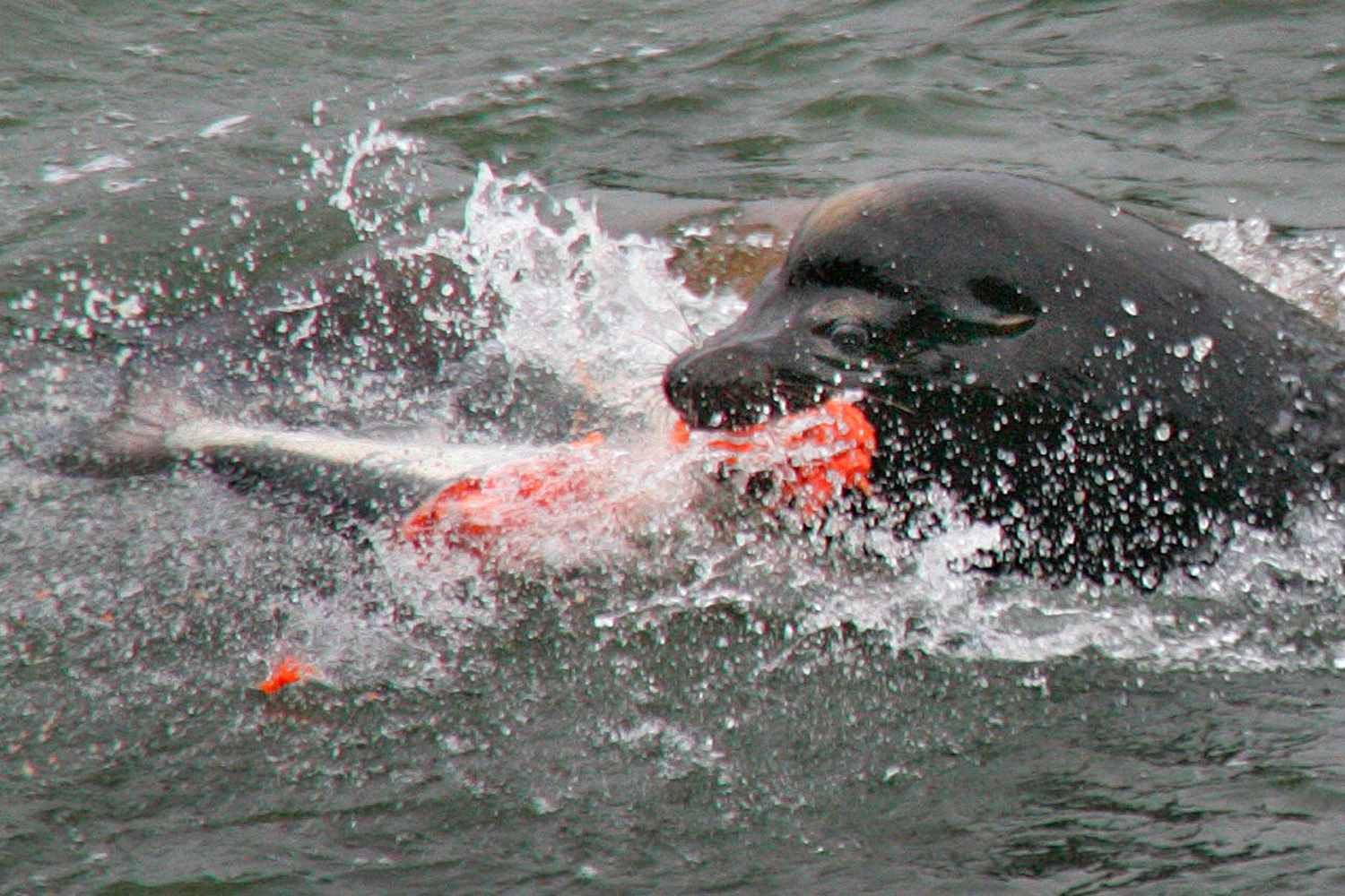 For Sea Lions A Feast Of Salmon On The Columbia High