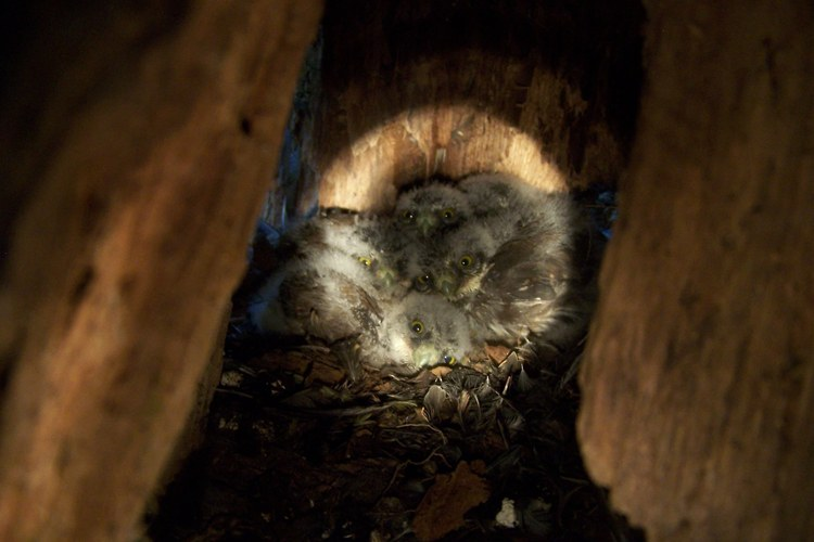 Six pygmy owl nestlings in their tree stump nest.