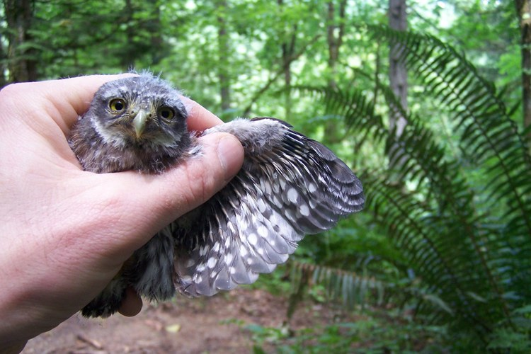 John Deshler shows the wing of a pygmy owlet in Forest Park.