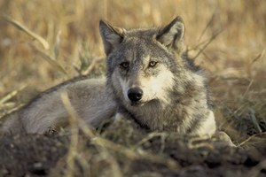 Coexistence between wolves and livestock is a delusion