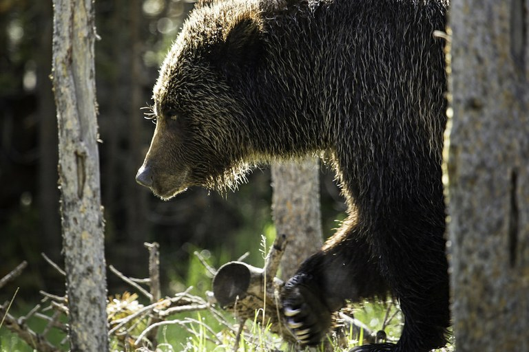 Don't let states manage grizzly bears to extinction — High