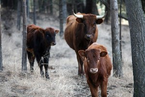Farm-to-table beef relies on native grasses