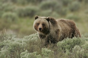 Why Montana shouldn't hurry to hunt its recovering grizzlies