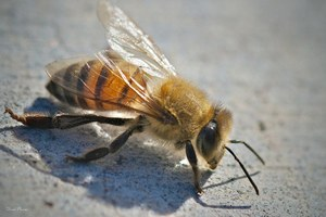 Killer bees are calming down