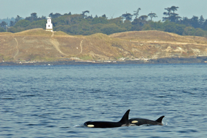 Orcas need more than sympathy and prayers