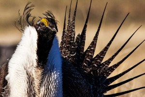 Under new Interior Department plan, sage grouse will suffer